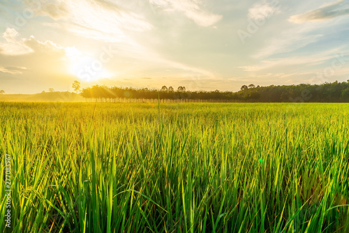 Photo sur Aluminium Sauvage Rice field with sunrise or sunset in moning light