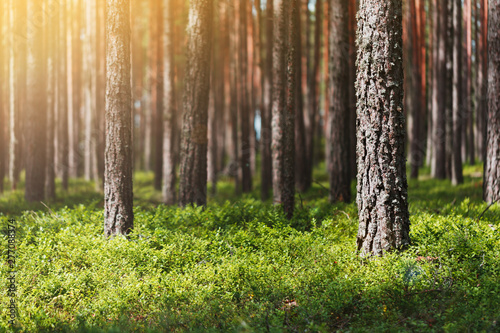 Obraz Beautiful summer pine forest, green leaves of lingonberry, sun glare. The middle part of the frame is in focus. Far and background blurred - fototapety do salonu