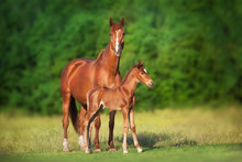 Mare And Foal Run
