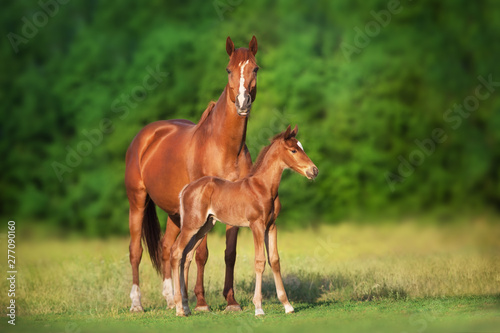 Fototapeta Mare and foal run