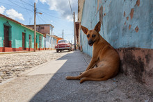 Homeless Street Dog Relaxing In A Shade During A Hot And Sunny Day. Taken In A Small Cuban Town, Trinidad, Cuba.