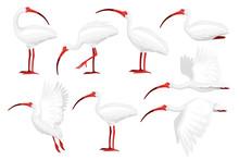 Set Of American White Ibis Flat Vector Illustration Cartoon Animal Design White Bird With Red Beak On White Background Side View