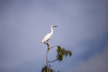 White Snowy Egret Egretta Thula Bird Perches At The Very Top Of A Cypress Tree