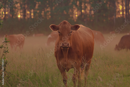 Photo Stands Cow cow in a field