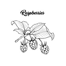 Raspberry Branch Black And White Vector Illustration. Aromatic Berries On Twig Engraved Drawing. Juicy Summer Vitamin Dessert. Rubus Idaeus Monochrome Botanical Sketch. Postcard, Poster Design Element