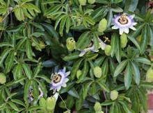 Passiflora Caerulea, The Blue Passionflower, Bluecrown Passionflower Or Common Passion Flower, Blooming In Garden