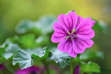 Beautiful Closeup Of Common Mallow (malva Sylvestris), With Purple Flower Head Isolated On A Blurred Green Background
