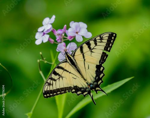 eastern yellow swallowtail butterfly on a flower