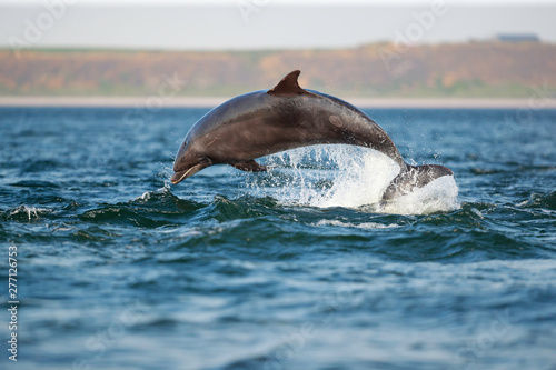 Photo leaping bottlenose dolphin