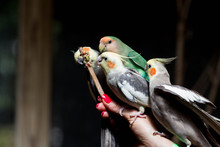 Birds Eating In An Aviary