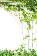 Panel Szklany Podświetlane Do przedpokoju ivy leaves isolated on a white background