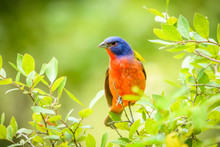Painted Bunting - Passerina Ciris - Perched On Branch. Green Leaves. Nice Bokeh.