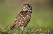 Stare Of A Burrowing Owl In Fl...