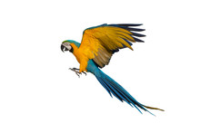 Macaw Flying Isolated On White...