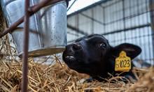Young Calves On The Farm