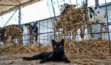 Cat Near Calves On The Farm