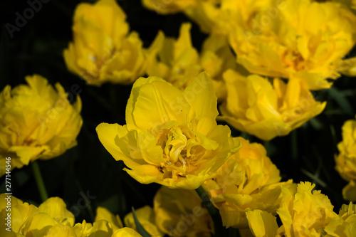 Garden Poster Narcissus Les tulipes hollande du jardin de Keukenhof