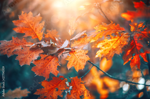 Fototapeta Autumn colorful bright leaves swinging on an oak tree in autumnal park. Fall  background. Beautiful nature scene obraz