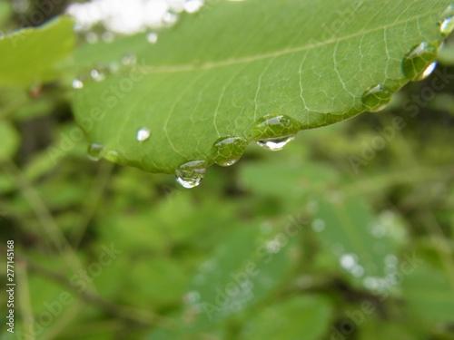 Fototapeta 葉の上の雨滴、雨水の粒。 obraz na płótnie