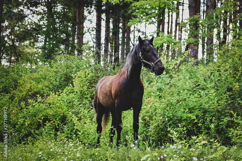 beautiful brown horses in nature