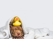Young, Charming Puppy, Lying On A White Rug And Yellow, Rubber Duck. Close-up, Isolated Background. Studio Photo. Concept Of Care, Education, Training And Raising Of Animals