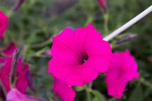 Ipomoea Violacea, Beach Moonflower Or Sea Moonflower