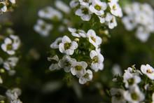 White Flowered Lobularia Plant. Also Known As Sweet Alyssum