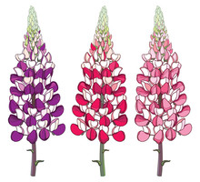 Set With Outline Red And Pink Lupin Or Lupine Or Bluebonnet Ornate Flower Bunch With Bud Isolated On White Background.