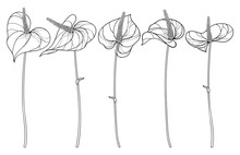 Set Of Outline Tropical Plant Anthurium Or Anturium Flower In Black Isolated On White Background.