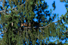 Squirrel In A Tree, Blue Sky Moring.