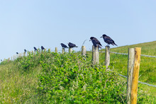 Crows On Poles
