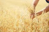 Dojżałe kłosy zboża w dłoniach, owiec w promieniach słońca.