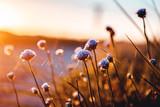 Beautiful blue flowers in bright summer sunset light. Lønstrup in North Jutland in Denmark, Skagerrak, North Sea