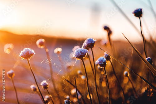 Canvas Prints Macro photography Beautiful blue flowers in bright summer sunset light. Lønstrup in North Jutland in Denmark, Skagerrak, North Sea