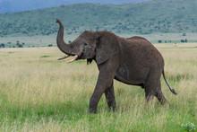 Wild African Elephant Close Up...