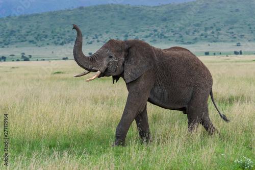Obraz Wild african elephant close up, Botswana, Africa - fototapety do salonu