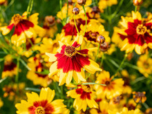 Group Of Plains Coreopsis Flowers In Bloom