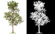 Leinwanddruck Bild - isolated single tree on white background with clipping path and