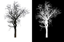 Isolated Single Tree On White Background With Clipping Path And