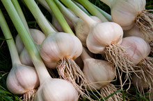 Collected Bunch Of Heads Of Garlic Is On A Heap