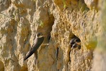 The Sand Martin (Riparia Riparia) Or European Sand Martin, Bank Swallow