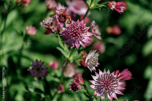 Photo Pink flowers are Astrantia major cultivar ROMA