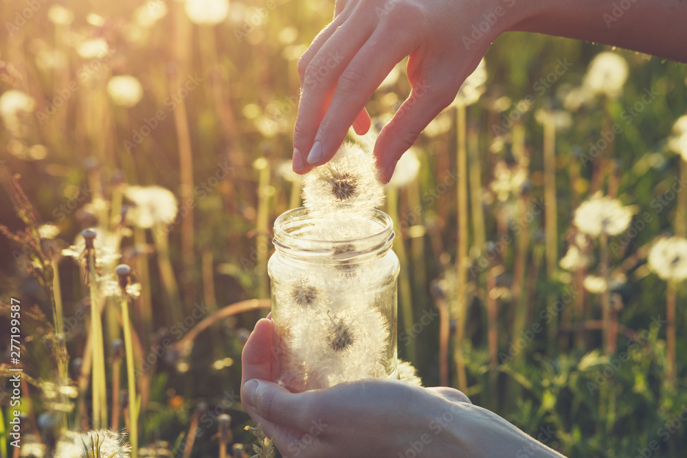 Fototapety, obrazy: young female hands holding  glass jar and collecting beautiful fluffy white fresh fragile dandelion flowers, saving happy moments, best summer memories, sunny morning background