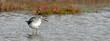 canvas print picture - Grünschenkel (Tringa nebularia) - Common greenshank