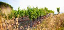 Vigne Dans Un Domaine Viticole En France