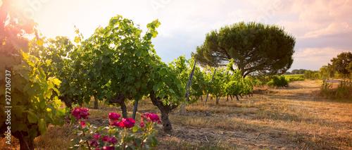 Vigne en Anjou dans les coteaux du Layon Wallpaper Mural
