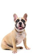 Cute French Bulldog Sitting Is...