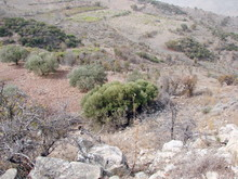 Natural Picture Of A Combination Of Dry Desert Vegetation On An Anhydrous Stone Surface On The Backdrop Of Gardens Of Dense Olive Trees On The Horizon.