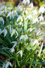 Leucojum Aestivum Or Summer Snowflake Or Loddon Lily White Flowers Vertical