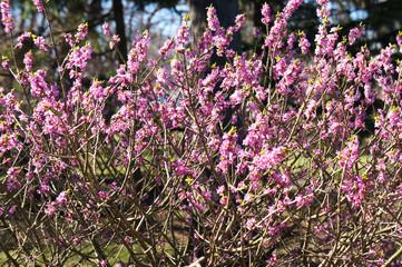 Daphne mezereum or february daphne or mezereon or spurge laurel pink spring flowers